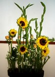 060505_sunflower.JPG