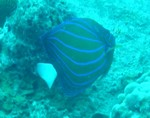 060708_Bluering angelfish.JPG