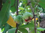 080207_Water apple2.jpg
